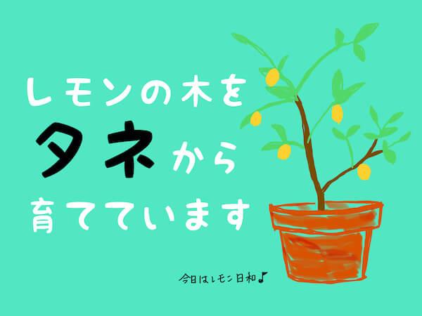 レモンの木をタネから育てています