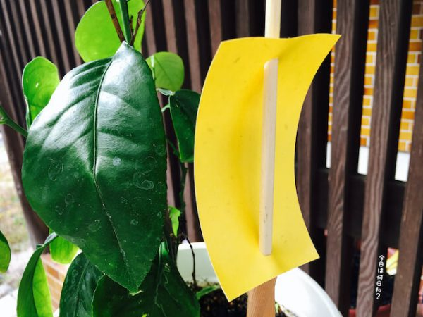 エカキムシ対策の黄色の粘着テープ