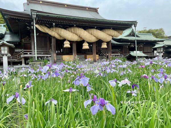 宮地嶽神社の花菖蒲①