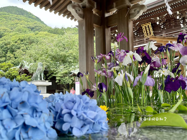 宮地嶽神社の花菖蒲⑤