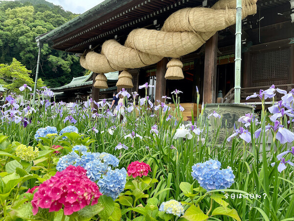 宮地嶽神社の花菖蒲⑥